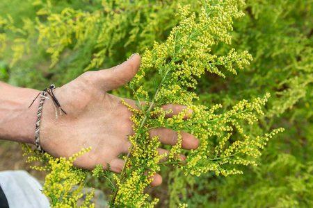 Floraison de l'Artemisia annua