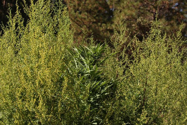 Artemisia-annua-en-synergie-avec-Cannabis-sativa