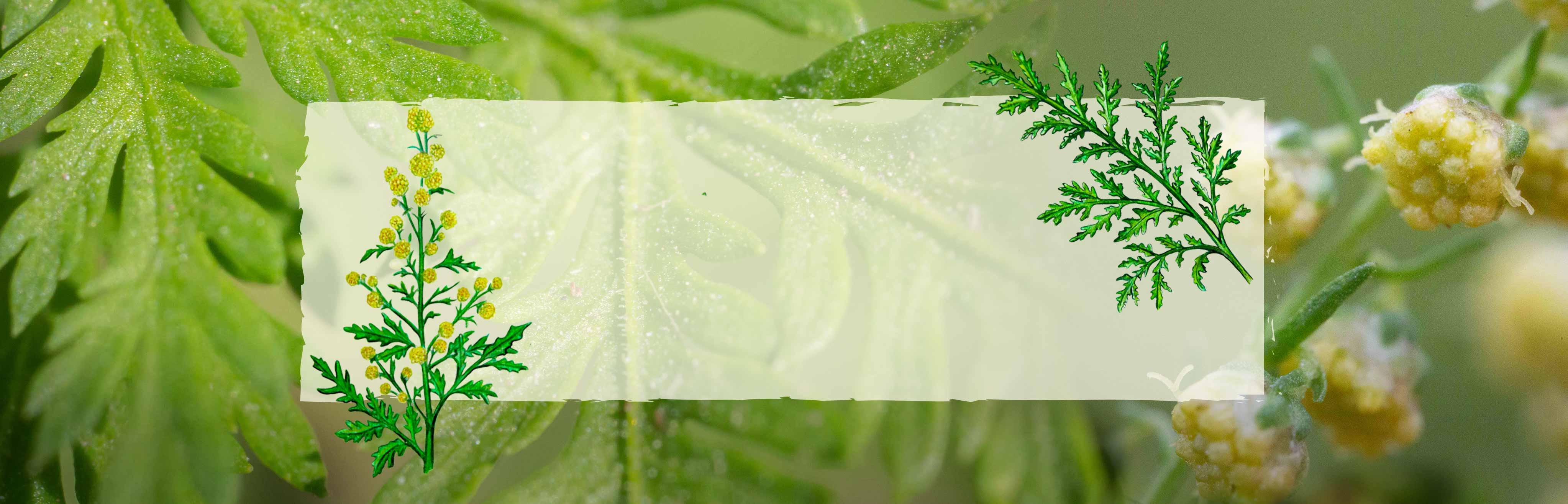 Slider Campagne Artemisia annua