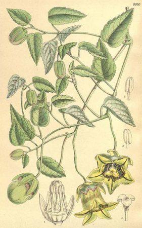 Codonopsis tangshen. Curtis Botanical Magazine. 1906
