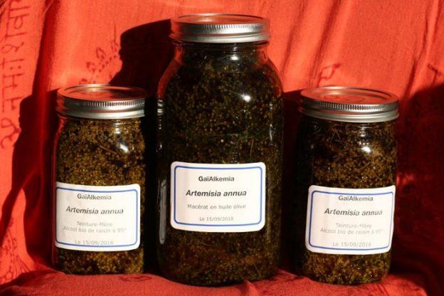 Macérâts huileux eT alcooliques d'Artemisia annua