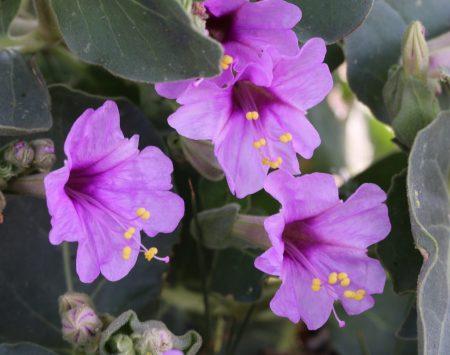 Mirabilis multiflora dans les déserts du Nevada. Auteur Xochi