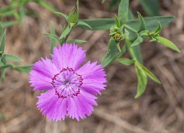 Fleurs Oeillets Siberian Blues