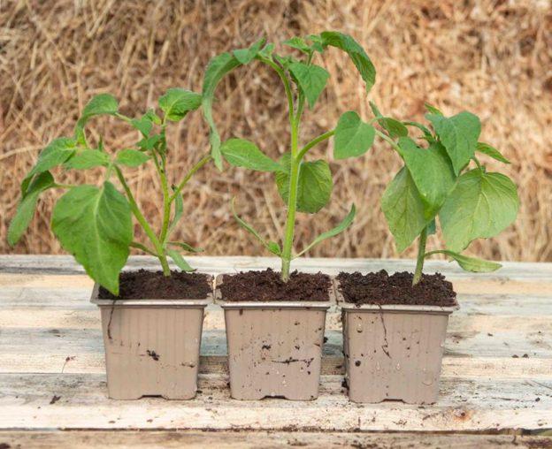 Plants-Kokopelli-de-tomates