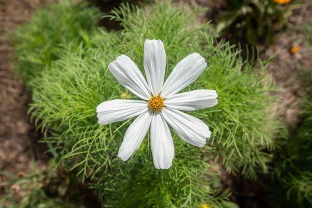 Cosmos bipinnatus, Sonata White