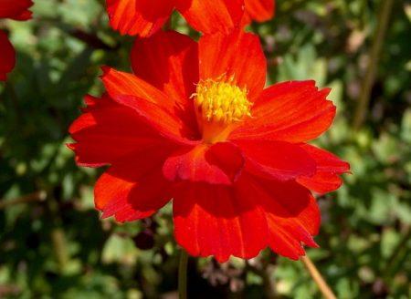 Cosmos sulphureus, Cosmic Red