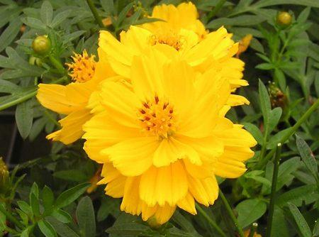 Cosmos sulphureus, Cosmic Yellow