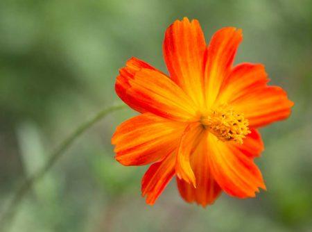 Cosmos sulphureus, Orange