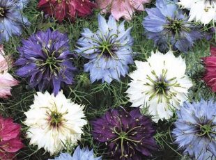 Nigella damascena - Persian Jewels Mix
