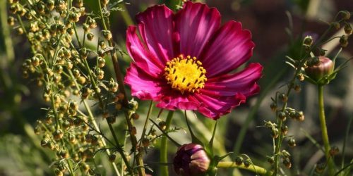 Cosmos bipinnatus avec Artemisia annua
