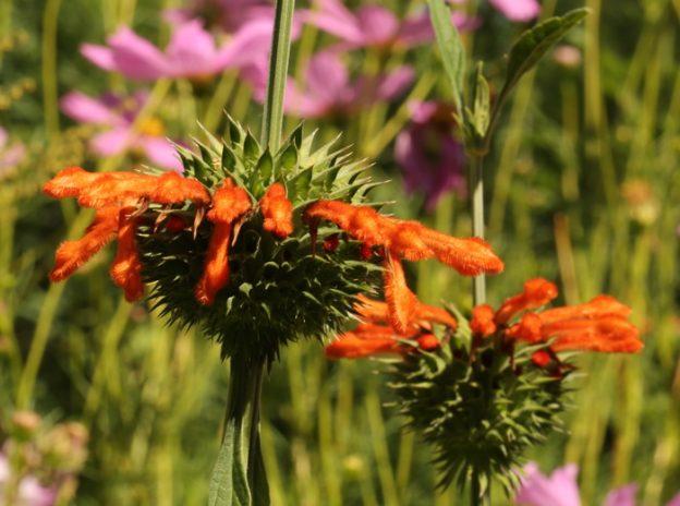 Leonotis nepetifolia. Jardin de Xochi en Oregon.