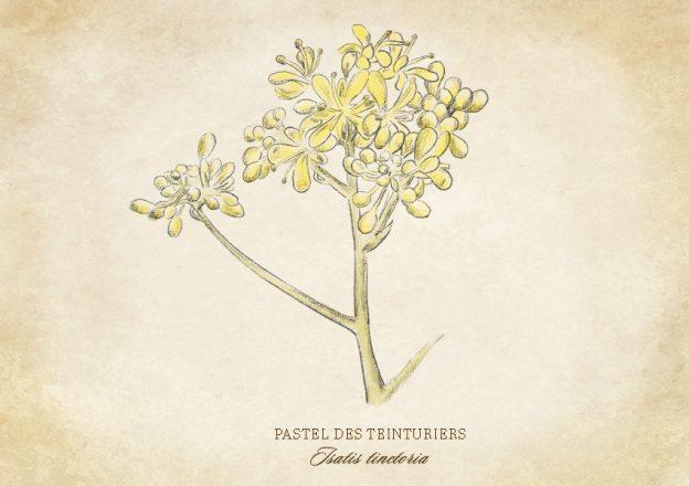 Croquis botanique du Pastel des Teinturiers