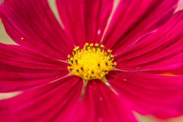 Fleurons de Cosmos