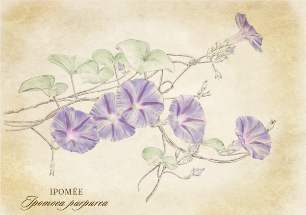 Botanical_sketch_ipomee