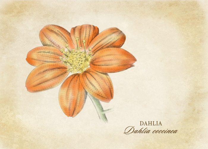 Botanical_sketch_Dahlia