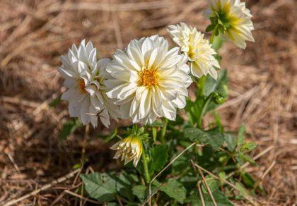 Figaro White - Dahlia variabilis