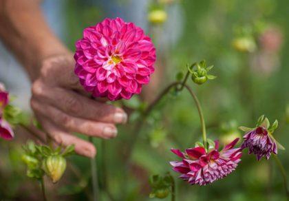 Mystery Mix - Dahlia hortensis
